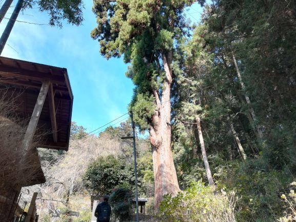 スギの大木