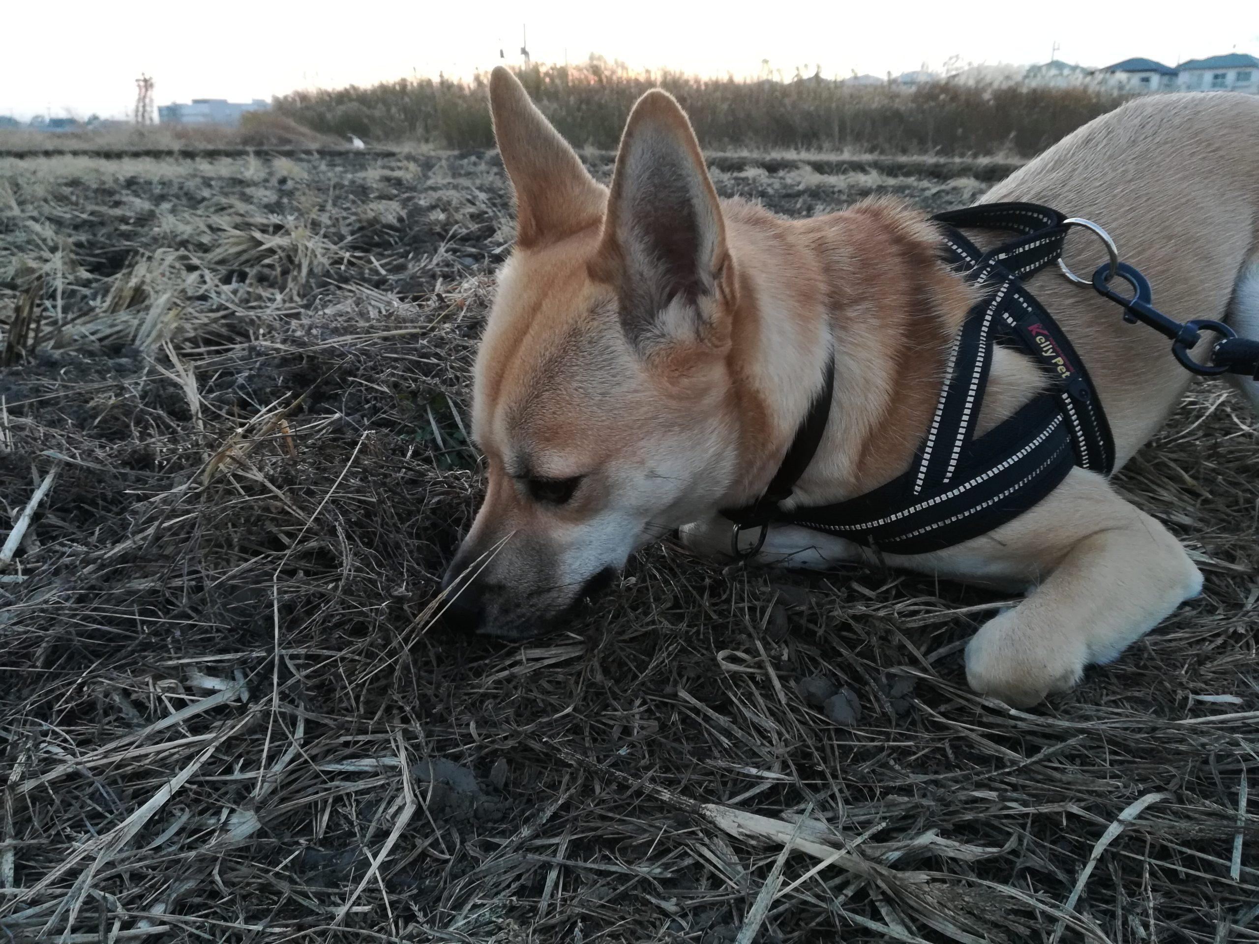 枯れ草のニオイを嗅ぐアポロ