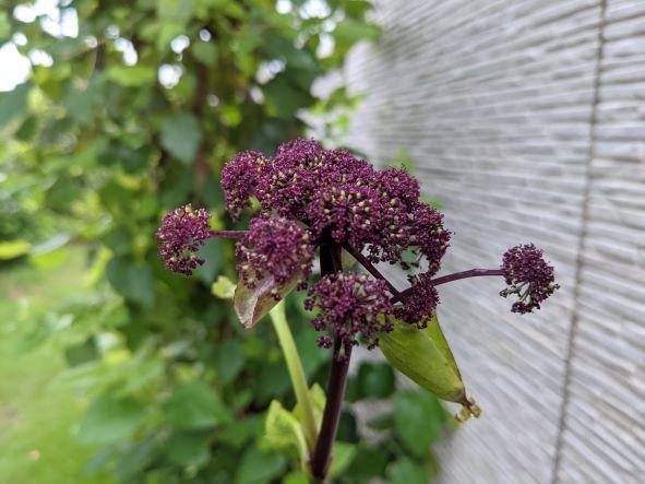 ノダケのえんじ色の花